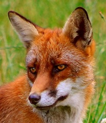 Click to find out more about foxes